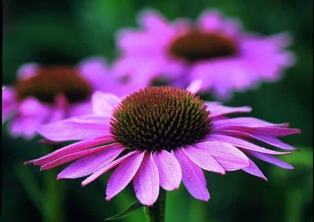 how to make echinacea tincture. Black Bedroom Furniture Sets. Home Design Ideas