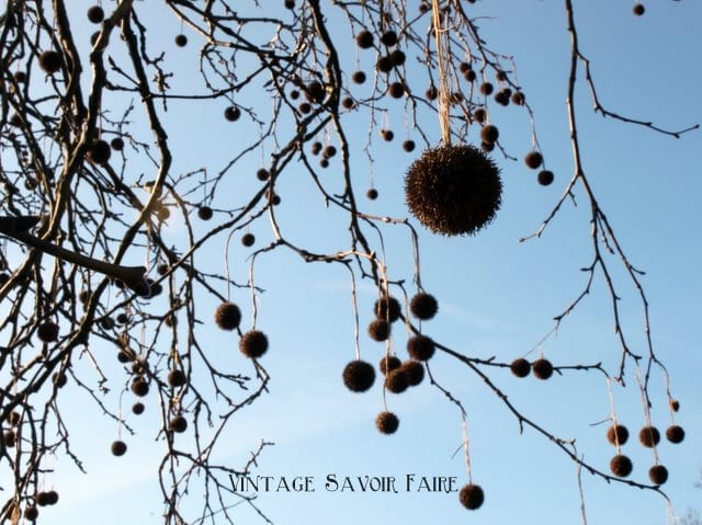 seed pods in trees