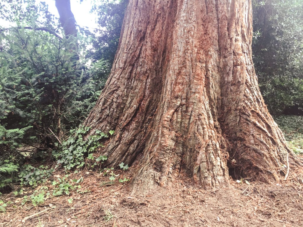 Giant Sequoia in Horsham Park
